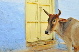 a-cow-in-jodhpur
